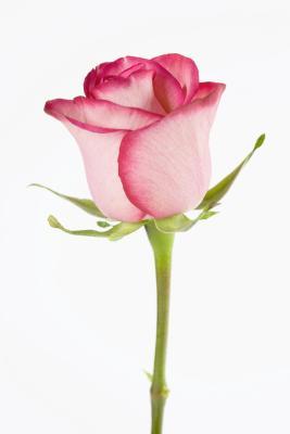 Cómo dibujar una rosa con PSP